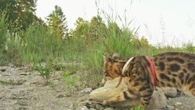 一只猫孟加拉在绿草走 孟加拉全部赌注学会沿森林亚洲豹猫尝试走掩藏 股票视频