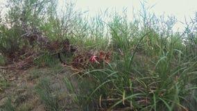 一只猫孟加拉在绿草走 孟加拉全部赌注学会沿森林亚洲豹猫尝试走掩藏 股票录像