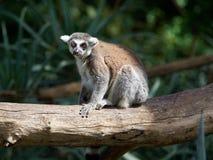 一只猫或环纹尾的狐猴与红色眼睛坐一本巨大的日志,马达加斯加 免版税库存图片