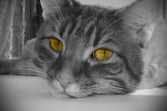 一只猫的枪口在黑白的与黄色眼睛 免版税库存图片