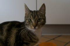 一只猫的画象与绿色黄色眼睛的 免版税图库摄影