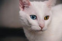 一只猫的画象与虹膜异色症的 图库摄影