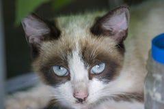 一只猫的画象与说谎和看照相机的蓝眼睛的 r 免版税库存照片