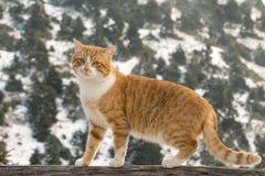 一只猫的美丽的画象反对一个多雪的环境的 免版税库存照片