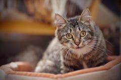 一只猫的画象与一种镶边颜色的黄色眼睛的 免版税库存照片