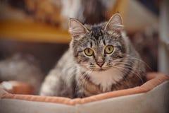 一只猫的画象与一种镶边颜色的黄色眼睛的 库存照片