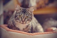 一只猫的画象与一种镶边颜色的黄色眼睛的 免版税库存图片
