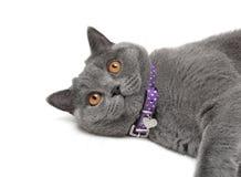 一只猫的画象与黄色眼睛的在白色背景 图库摄影