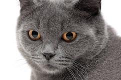一只猫的画象与黄色眼睛的在白色背景 免版税库存图片