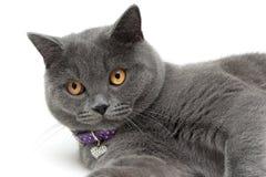 一只猫的画象与黄色眼睛的在白色背景 库存图片