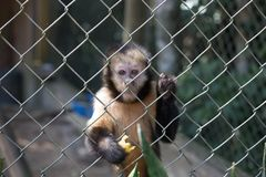 一只猴子用香蕉 免版税库存照片
