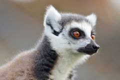 一只环纹尾的狐猴的顶头射击 图库摄影