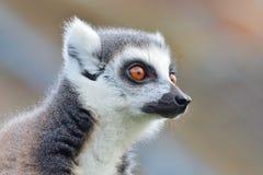 一只环纹尾的狐猴的顶头射击 免版税库存照片