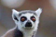 一只环纹尾的狐猴的顶头射击 免版税图库摄影