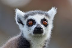 一只环纹尾的狐猴的顶头射击 免版税库存图片
