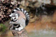 清洗毛皮的环纹尾的狐猴(狐猴catta) 图库摄影