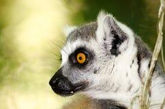 一只环纹尾的狐猴的外形 免版税库存照片