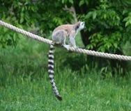 一只环纹尾的狐猴 免版税库存图片