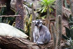 一只环纹尾的狐猴 图库摄影
