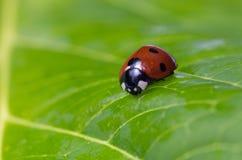 一只瓢虫的特写镜头在一片绿色叶子的 免版税库存图片