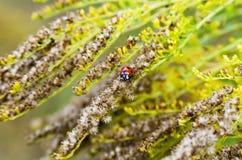 一只瓢虫 免版税库存图片