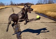 一只甜丹麦种大狗小狗设法拿到在空中的网球 库存图片