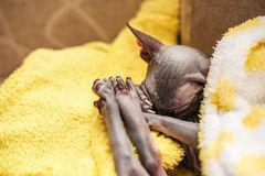 一只甜睡觉猫的照片在一件黄色明亮的外套的 Sphynx品种的猫在地毯被包裹并且睡觉 库存照片