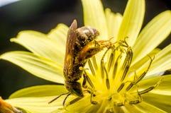 一只甜蜂 免版税库存图片