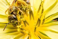 一只甜蜂 免版税库存照片