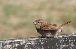 一只甜婴孩麻雀,传球手domesticus,在篱芭栖息,等待它的父母来哺养它 免版税库存照片
