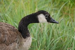 一只由草的孤零零加拿大鹅蹒跚 库存图片