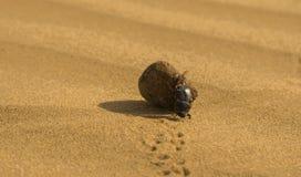 一只甲虫在塔尔沙漠 库存图片