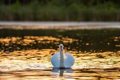 一只疣鼻天鹅在日落的金黄湖 免版税图库摄影