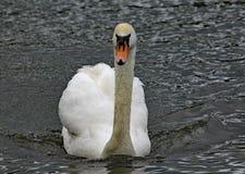 一只疣鼻天鹅在湖游泳 免版税库存照片