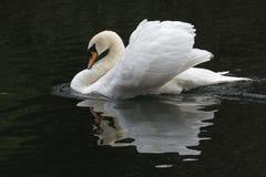 一只疣鼻天鹅 免版税图库摄影