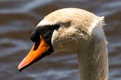一只疣鼻天鹅的题头 免版税库存照片