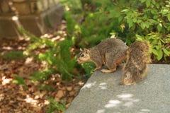 一只疲乏的灰鼠采取休息 免版税库存图片
