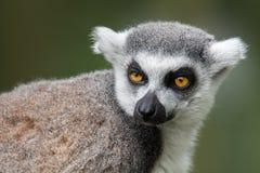 一只疲乏的看起来的环纹尾的狐猴的画象 免版税库存照片