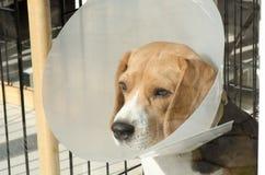 一只病的小猎犬小狗 免版税库存照片