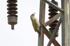 一只白发啄木鸟坐金属电杆 免版税库存图片