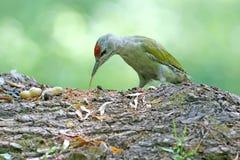 一只白发啄木鸟的男性在换毛期间的 库存图片
