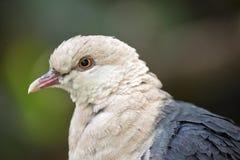 一只白头的鸽子 免版税库存照片