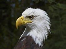 一只白头鹰的图象 库存图片