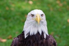 一只白头鹰的眼睛 库存照片