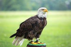 一只白头鹰的纵向 免版税库存照片