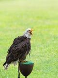 一只白头鹰的纵向 免版税图库摄影