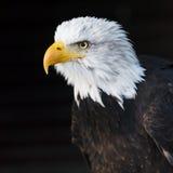 一只白头鹰的纵向 库存照片