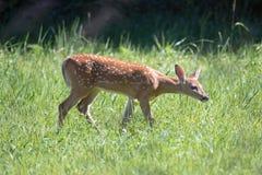 一只白尾鹿小鹿 免版税库存照片