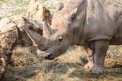 一只白犀牛的画象 免版税库存照片