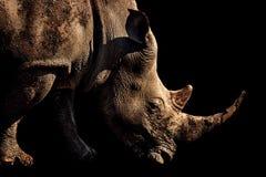 一只白犀牛的画象 免版税图库摄影